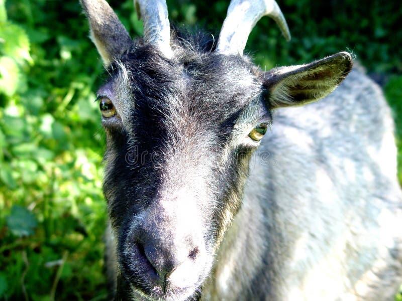 Download Goat stock image. Image of portrait, goat, farm, mammals - 20125