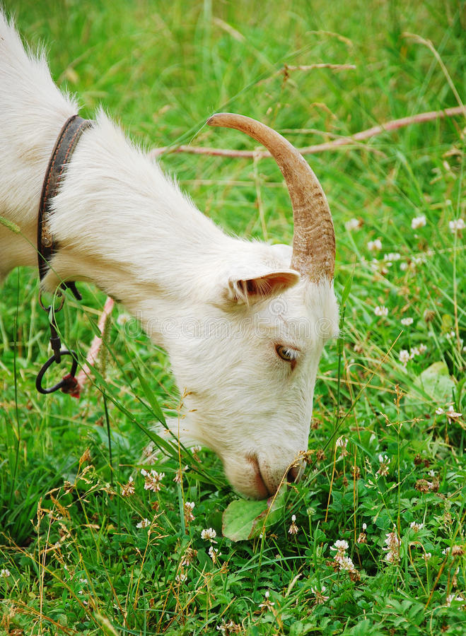 Free Goat Royalty Free Stock Image - 20595716