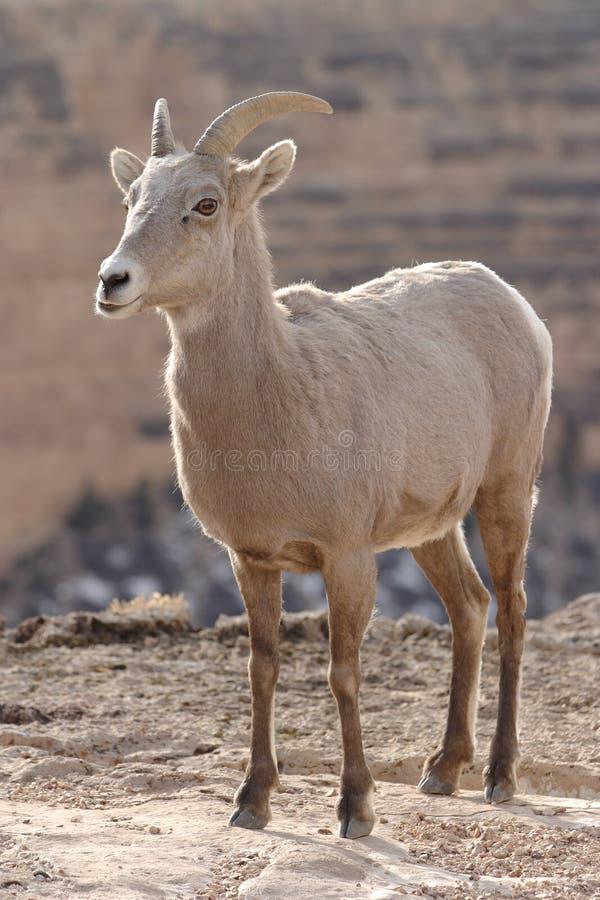 Free Goat Royalty Free Stock Photo - 2060695