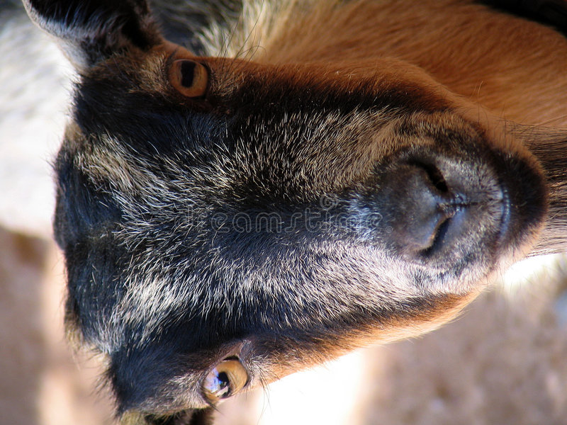 Download Goat stock photo. Image of hello, look, nose, stare, fuzz - 20962