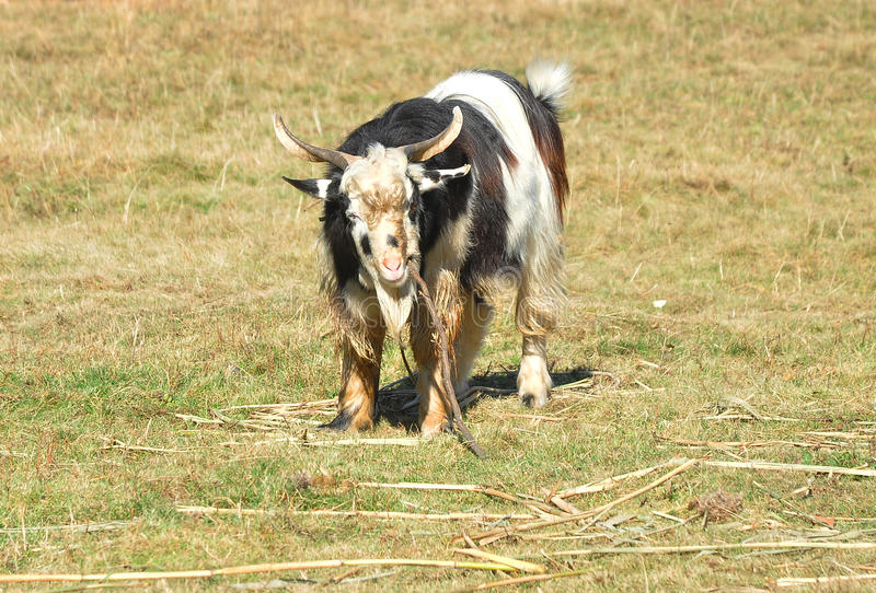 Download Goat stock image. Image of farming, farms, herd, background - 21995149
