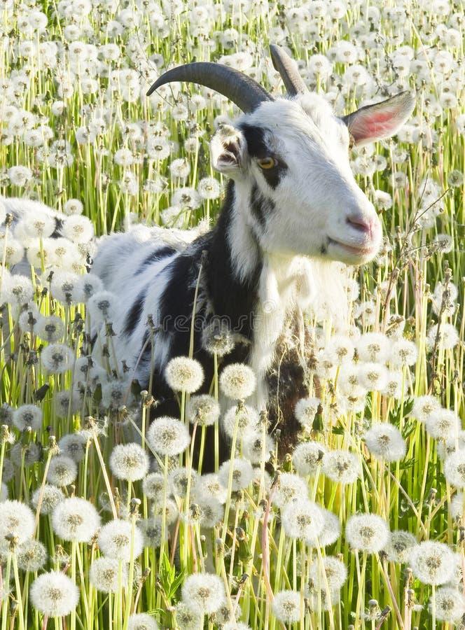 Free Goat Royalty Free Stock Image - 22997286