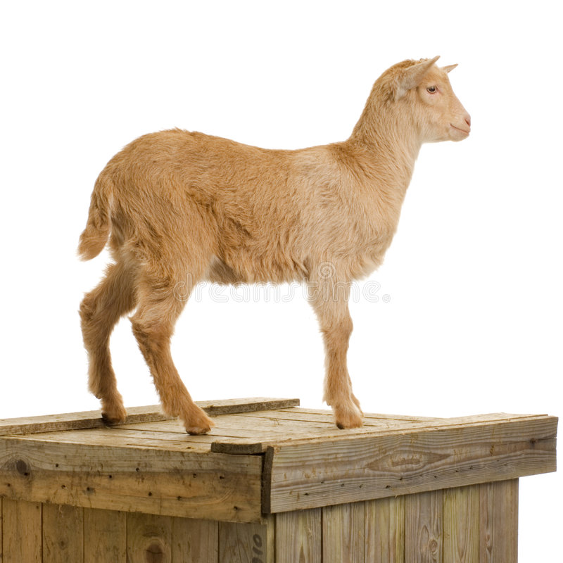 Download Goat stock image. Image of youth, young, standing, shoot - 2304521