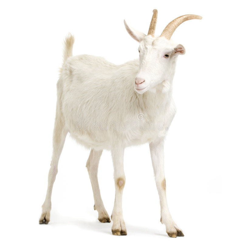 Free Goat Royalty Free Stock Photos - 2307938