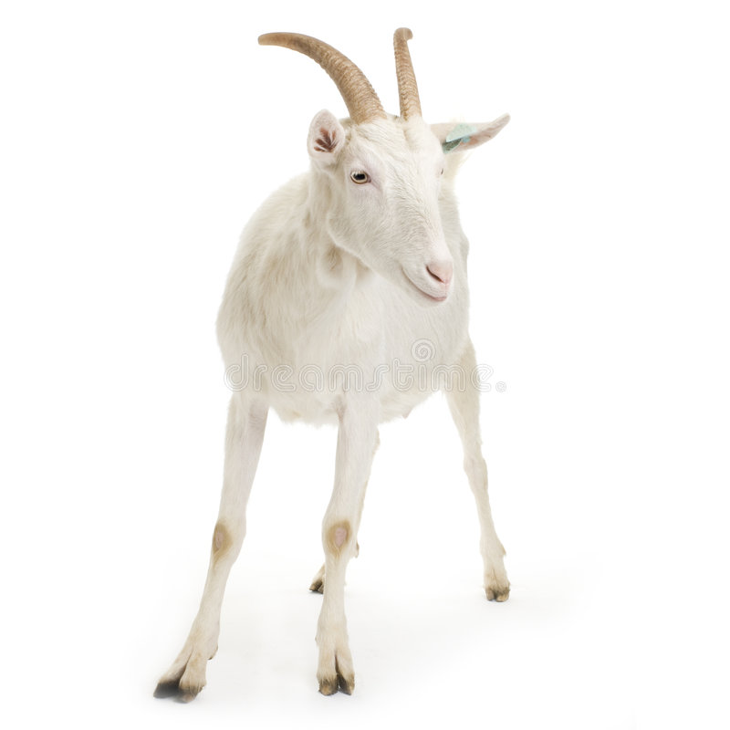 Download Goat stock photo. Image of vertebrate, farm, animals, standing - 2307954