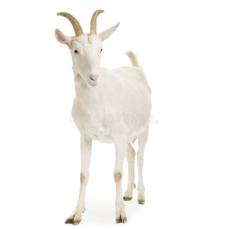 Download Goat Royalty Free Stock Photos - Image: 2307958