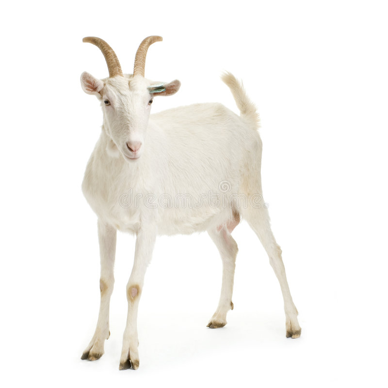 Free Goat Stock Photography - 2307962