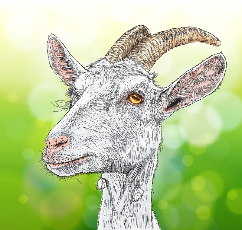 Goat. A portrait - a vector drawing royalty free illustration