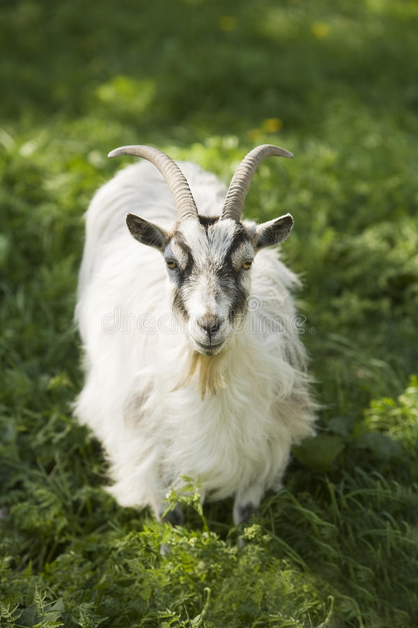 Download Goat stock photo. Image of up, mammal, livestock, looking - 25074282
