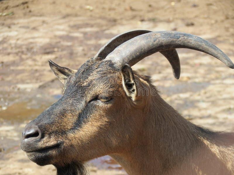 Download Goat stock image. Image of nature, hair, black, animal - 25785627