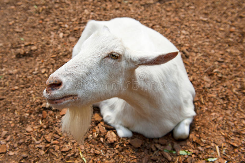 Download Goat stock image. Image of capricorn, breed, curious - 26035663