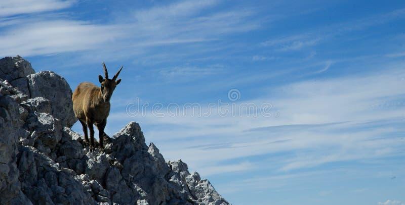 Download Goat stock image. Image of traveling, tourist, landscape - 26911287