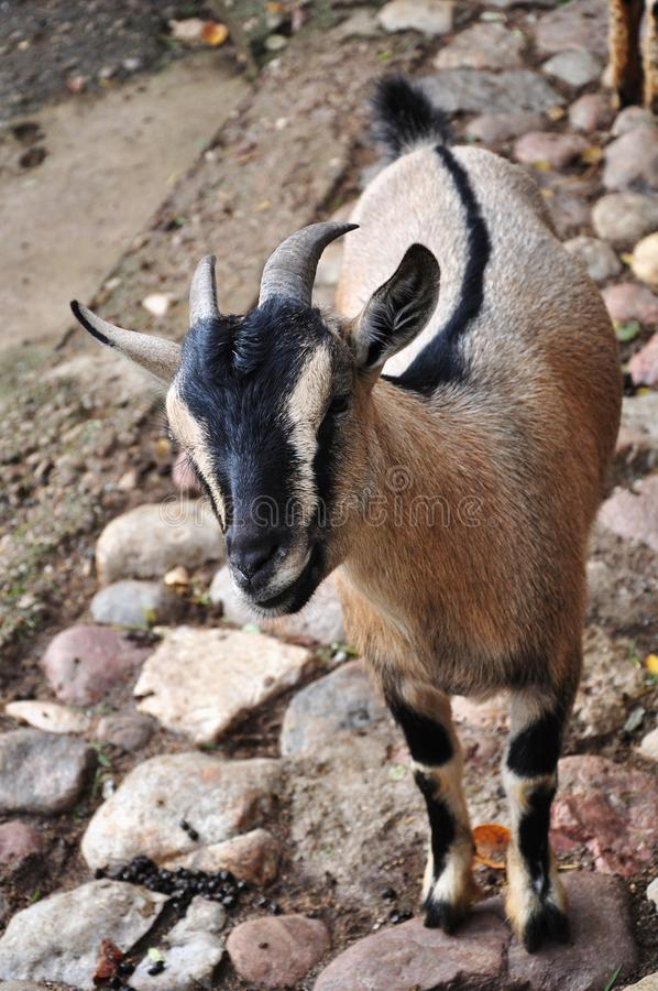 Download Goat Stock Photos - Image: 26994203