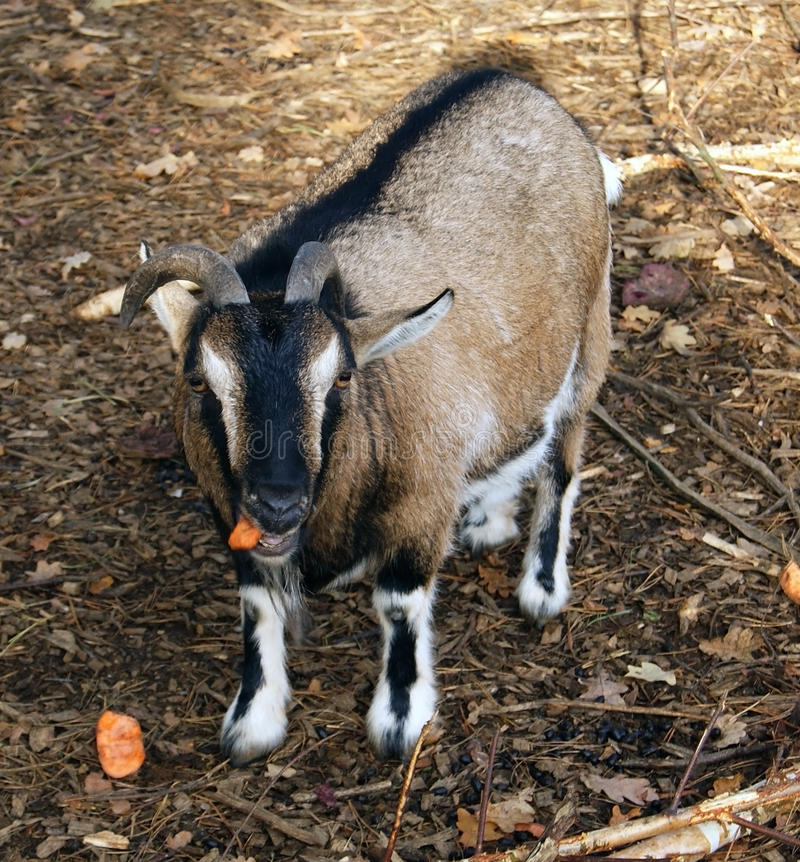 Download Goat stock image. Image of rural, bite, domesticated - 27606869
