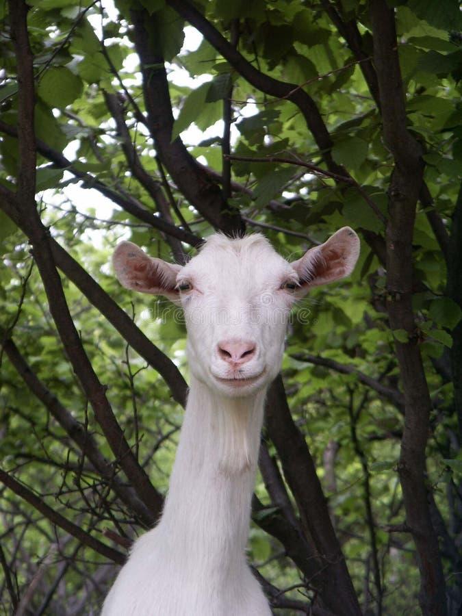 Goat. Closeup of a Goat royalty free stock photos