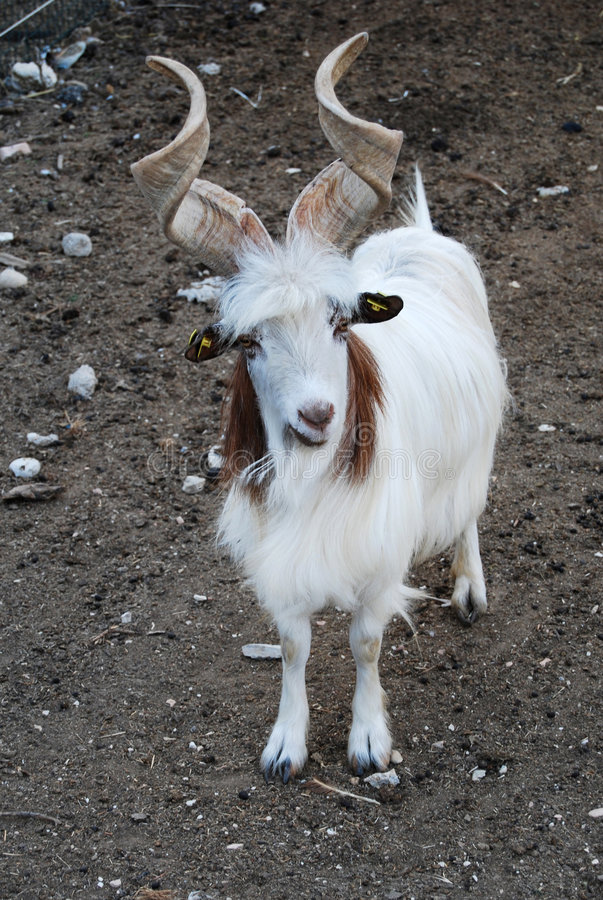 Download Goat stock photo. Image of animals, portrait, domestic - 5920972