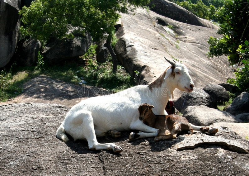 Goat. And lamb sitting peacefully over a rock stock photos