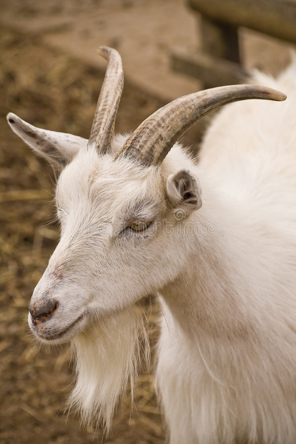 Download Goat stock image. Image of goat, goatee, color, female - 7275541