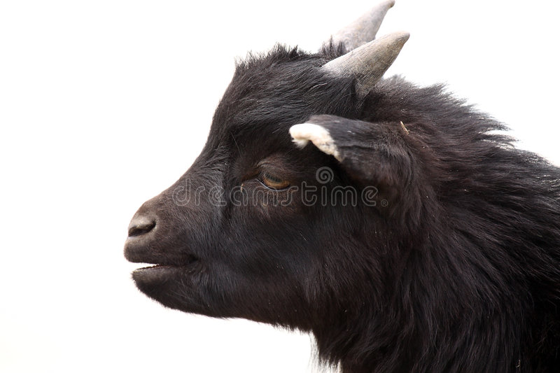 Download Goat Stock Image - Image: 9049731