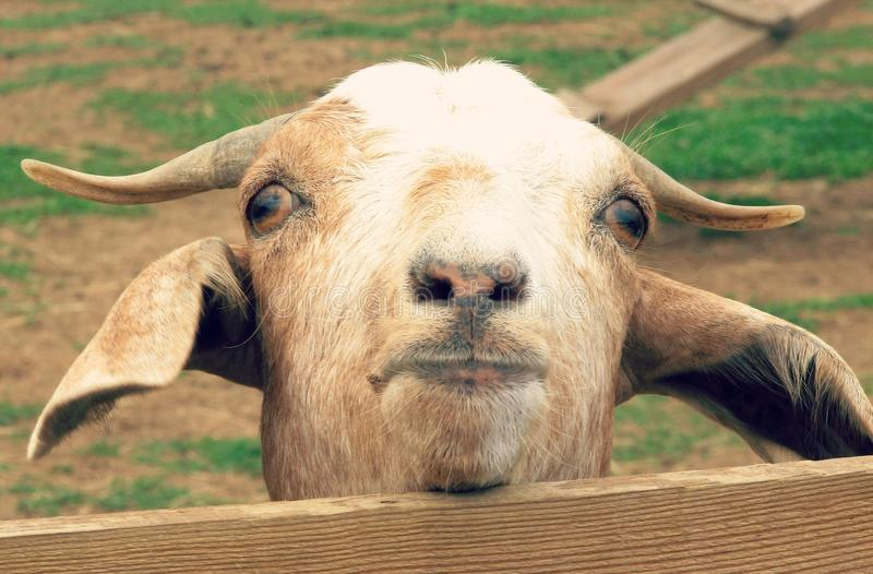 A Goat in Amish Country Looks Over a Fence. A white goat in Ohio's Amish country looks on quixotically royalty free stock image