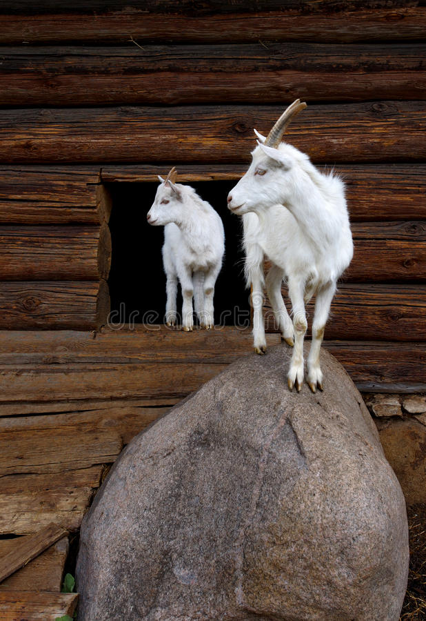Free Goat And The Kid Royalty Free Stock Photo - 11212585