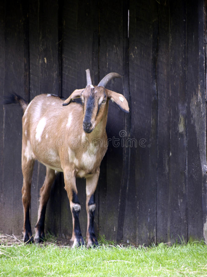 Download Goat before barn stock photo. Image of clothing, capra - 17748588