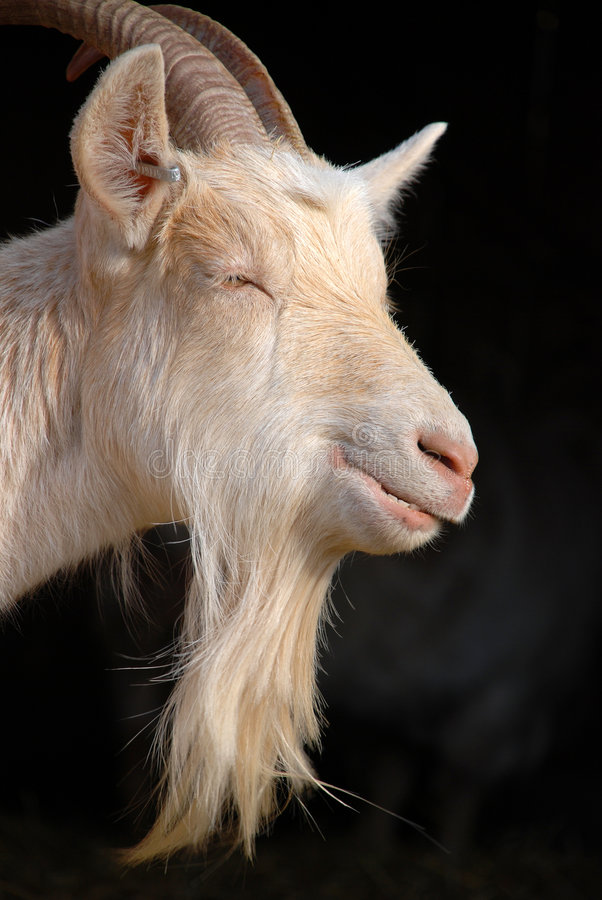 Download Goat beard stock photo. Image of horn, goat, chewing, mammal - 9001762