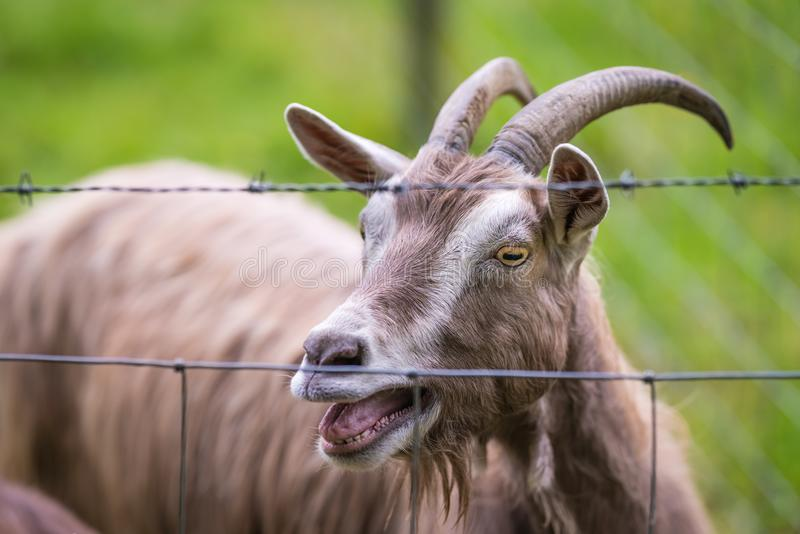 Goat behind a fence on a farm. Close up of goat behind a fence on the farm in England royalty free stock photography