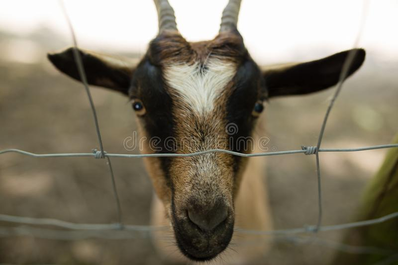 A goat behind a fence in France. A goat behind a fence in the city of Biarritz, France stock photos