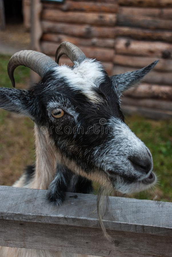 The goat is behind the fence.  royalty free stock image