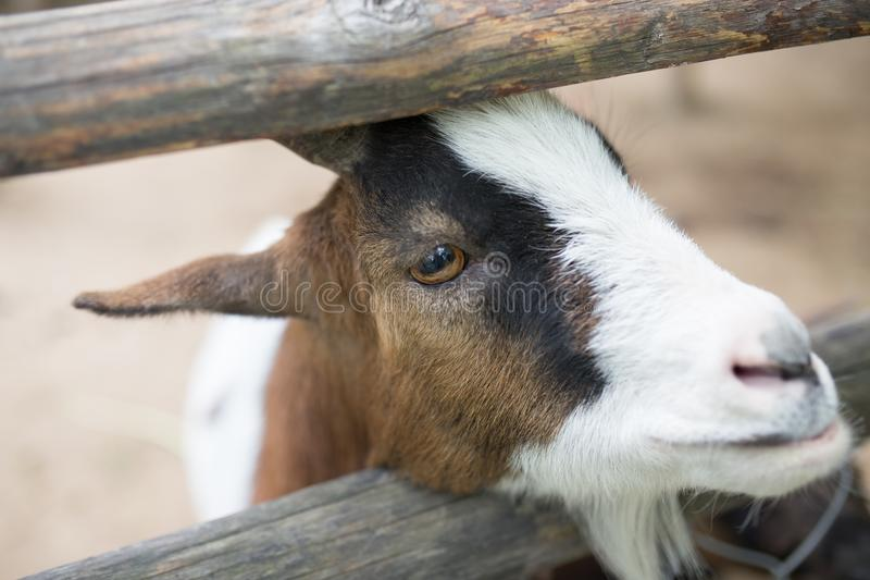 Goat behind a fence in zoo stock photography