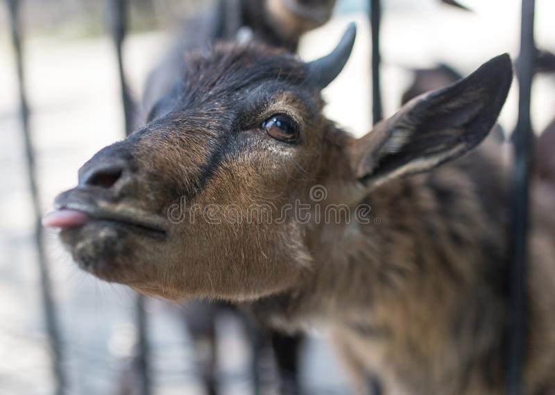 Goat behind a fence in zoo royalty free stock photos