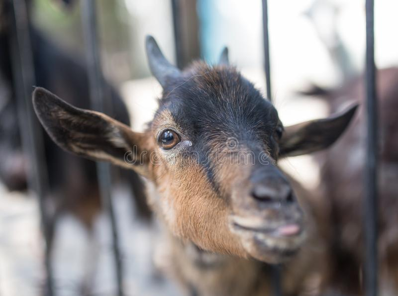 Goat behind a fence in zoo royalty free stock photography