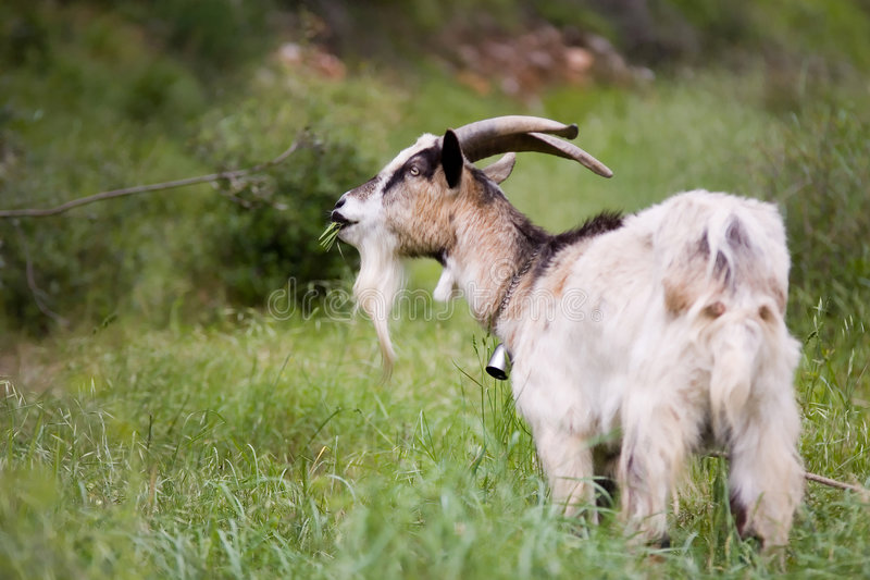 Download Goat With Bell Eating Grass Stock Image - Image: 798605
