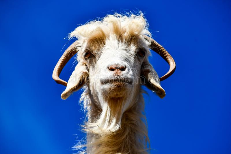 goat on a blue sky background, photo as background stock photo