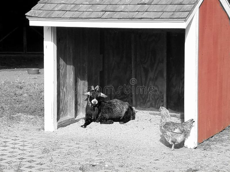 Goat and chicken royalty free stock photos