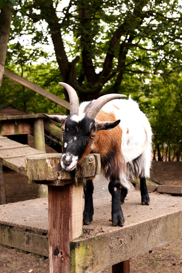 Download Goat in a city farm stock photo. Image of white, structure - 26632546