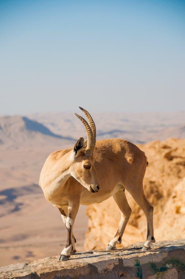 Download Goat on cliff stock image. Image of horn, desert, israel - 26222829
