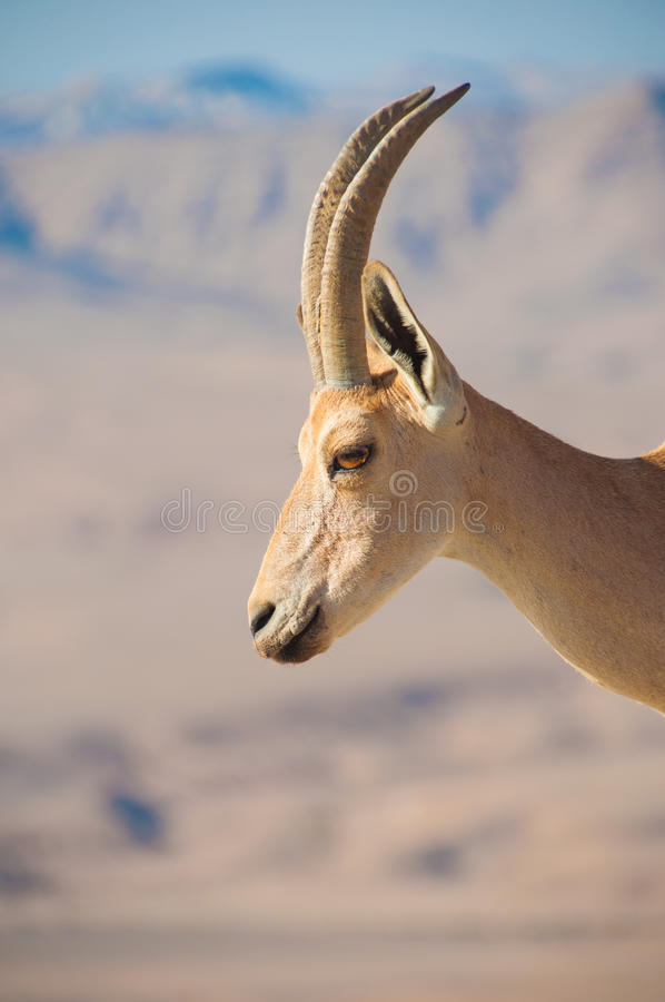 Goat on cliff profile stock photo