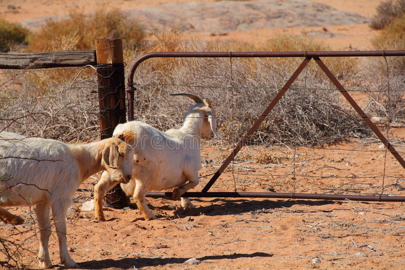 Goat climbing through a gate. A goat climbing through the wires of a farm gate in landscape format royalty free stock images