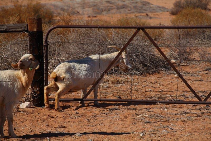 Goat climbing through a gate. A goat climbing through the wires of a farm gate in landscape format stock photos