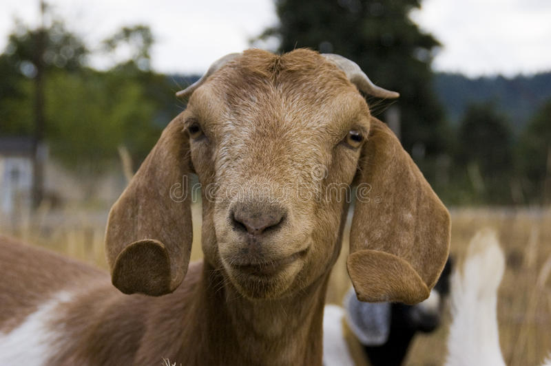 Download Goat close up stock image. Image of brown, field, ears - 10630773
