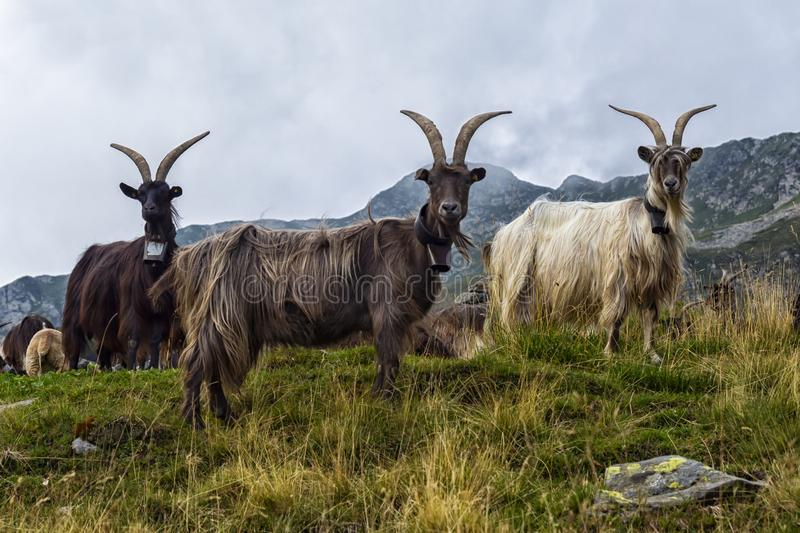 Goat close-up in the italian alps royalty free stock photos