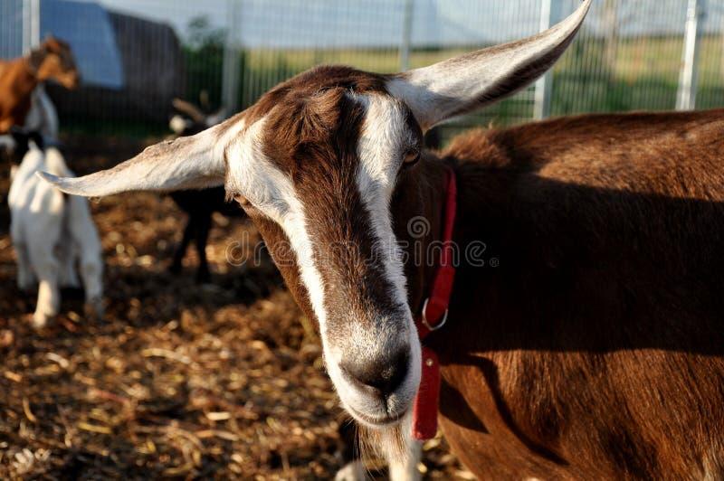 Goat Closeup Stock Image