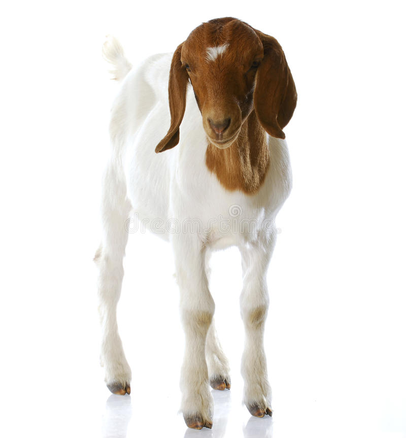 Free Goat Doeling Standing Stock Photos - 15407723