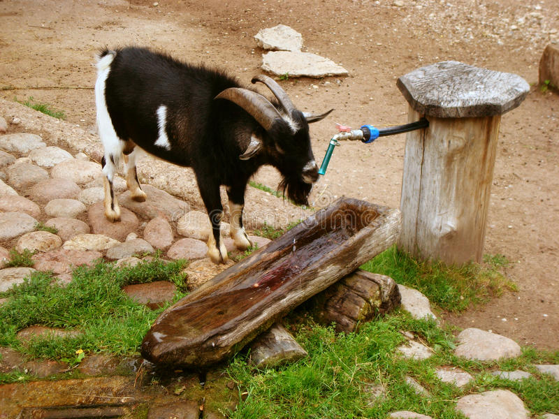 Goat drinking water royalty free stock images
