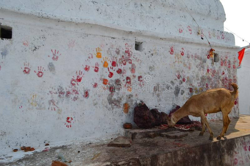 A goat is eating food in a hindu religious place or temple; the hands imprints on the wall. A goat is eating food in a hindu religious place or temple; th royalty free stock photography