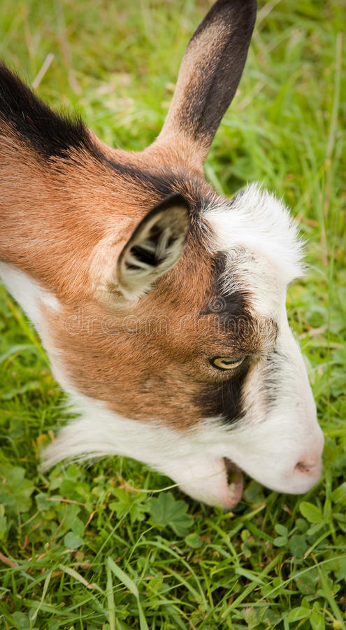 Goat Eating Grass Royalty Free Stock Images