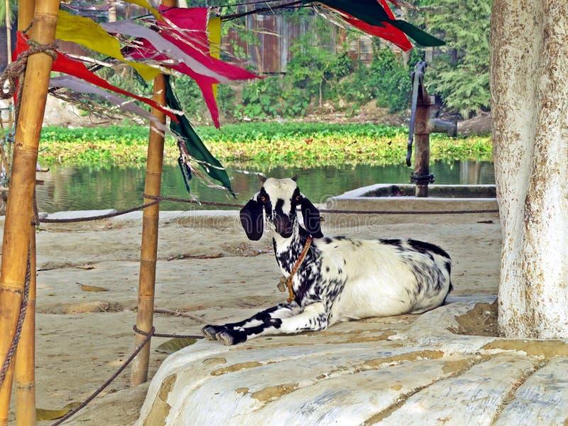 Goat in Kushtia, Bangladesh. Goat enjoying leisure time near Shrine of Lalon Shah, Kushtia, Bangladesh stock photos