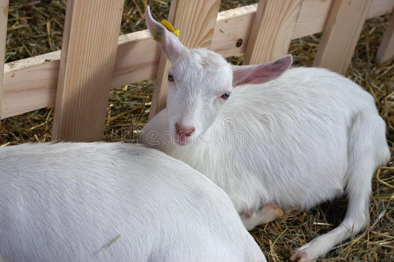 Download Goat in farm stock image. Image of hairy, animal, goat - 18056315
